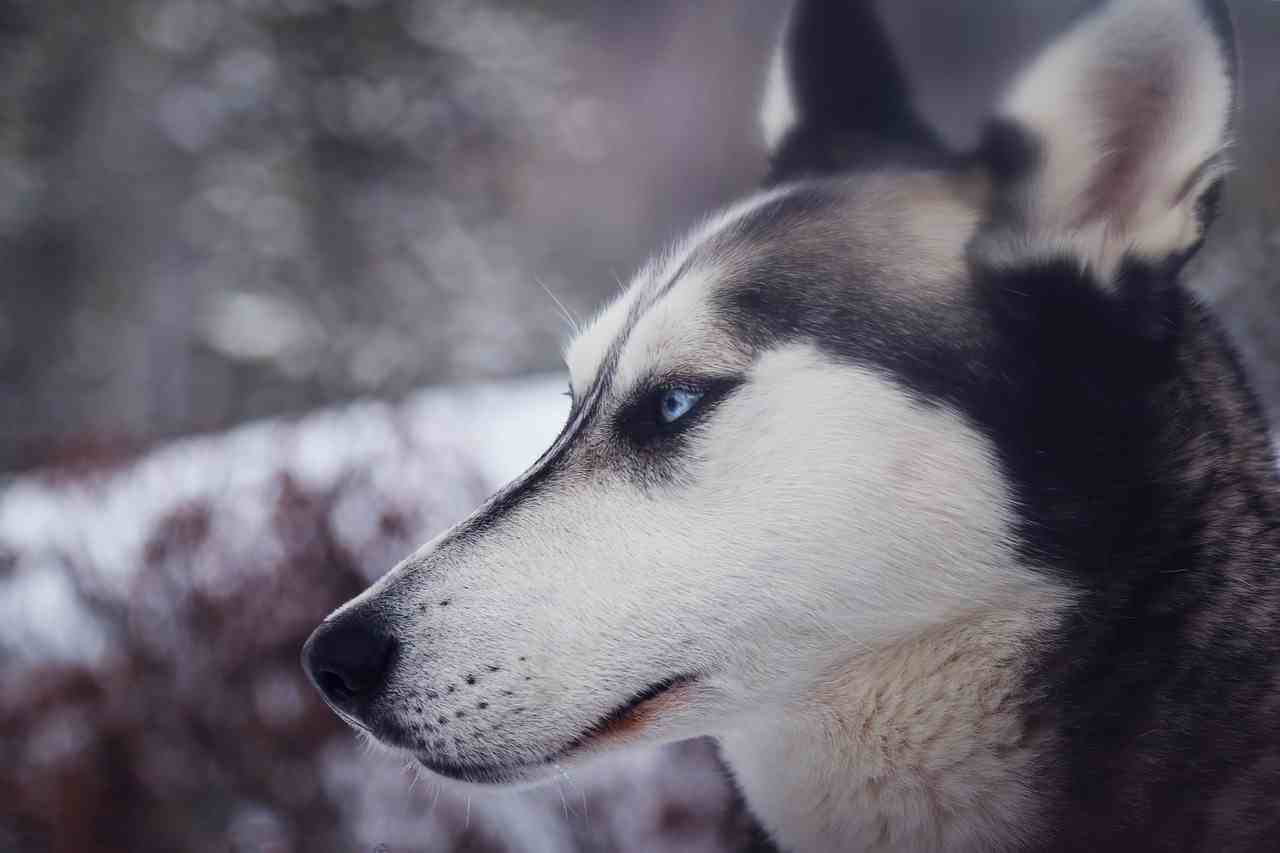 siberian huskey vegan dog