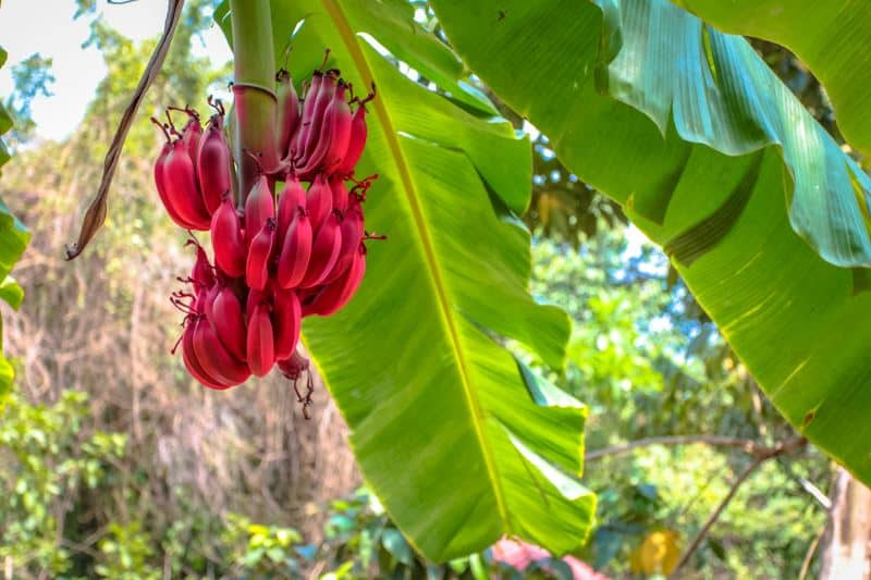 Red banana bunch in the tropical forest