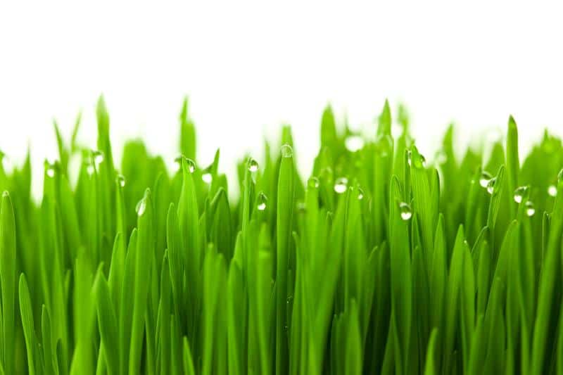Fresh green wheat grass with drops dew / isolated on white with copy space