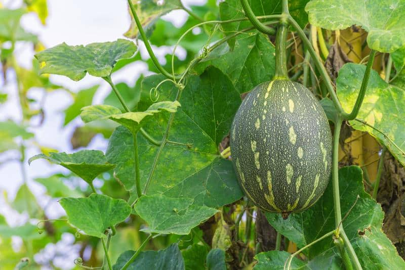 winter melon on its tree in garden.