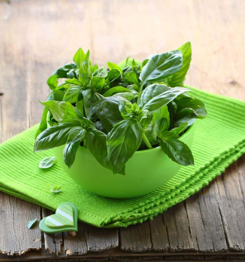 fresh basil growing in a pot