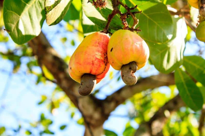 Cashew Fruit on a tree