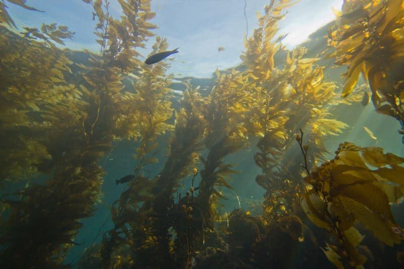 Kelp in the ocean