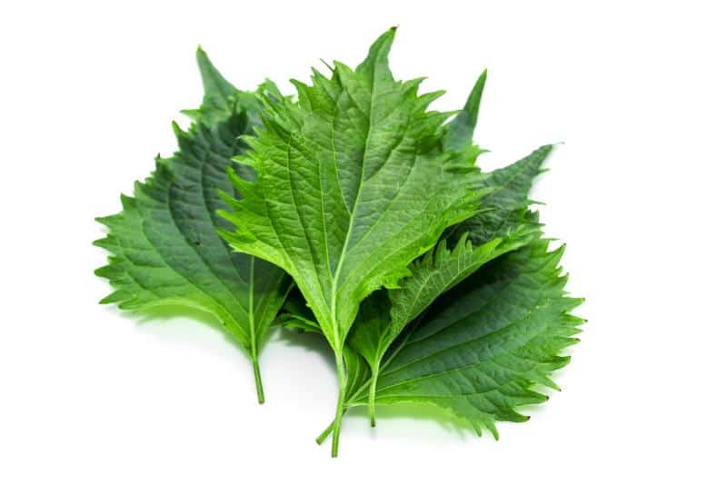 Shiso leaf on white background