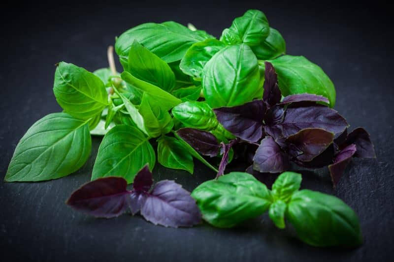 Bunches of fresh green and purple basil leaves.