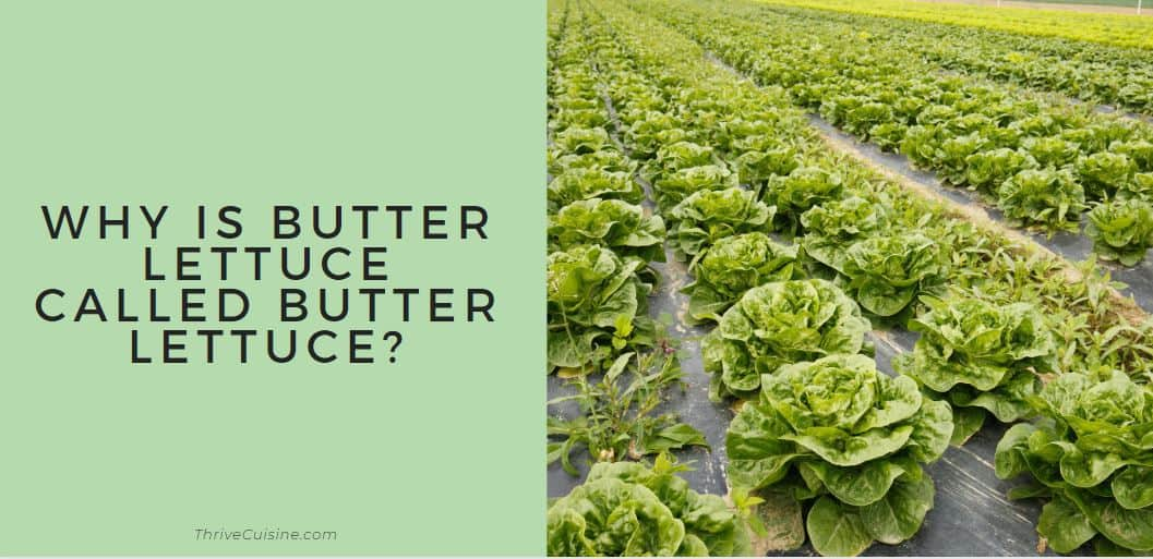 WHY IS BUTTER LETTUCE CALLED BUTTER LETTUCE