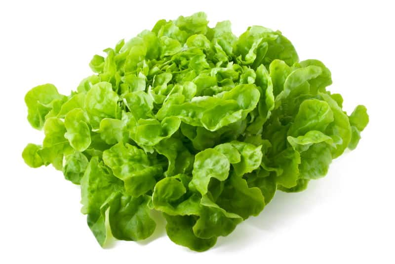 Close up of fresh butterhead lettuce isolated on white background