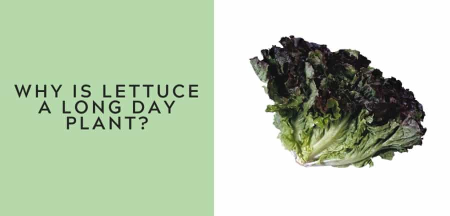 why is lettuce a long day plant