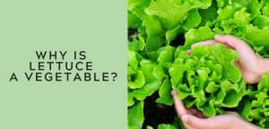 why is lettuce a vegetable