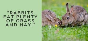 Rabbits Eat Plenty of Grass and Hay