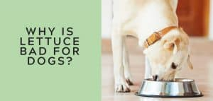 Why is Lettuce Bad for Dogs