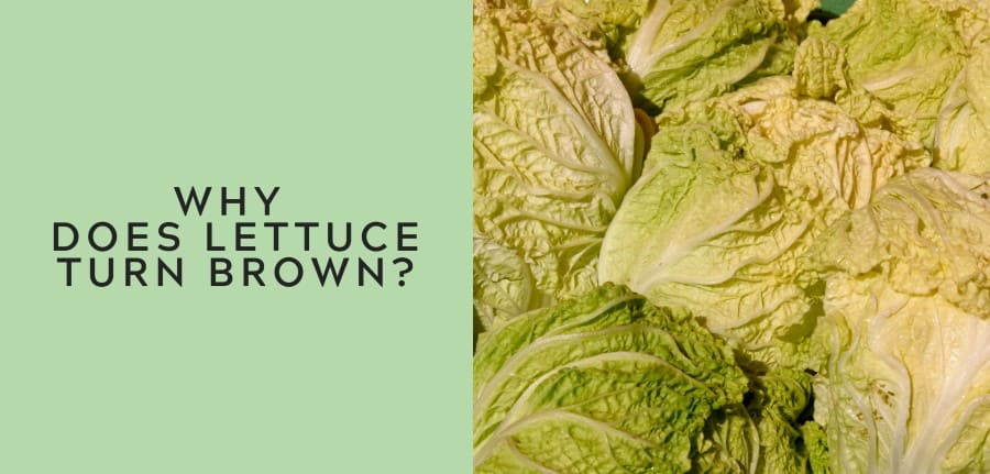 why does lettuce turn brown 1