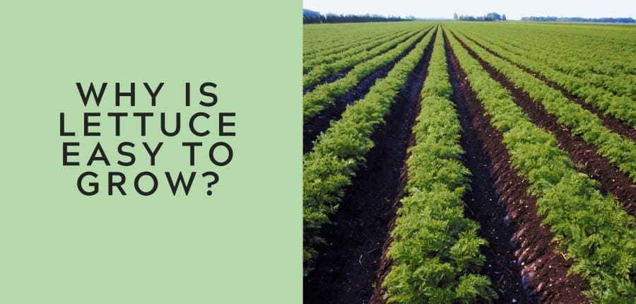 why is lettuce easy to grow 1
