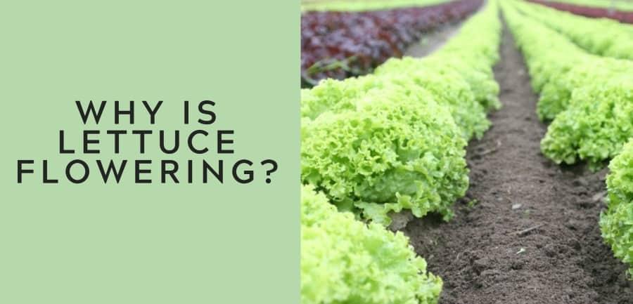 why is lettuce flowering 1