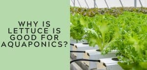 why is lettuce good for aquaponics 1