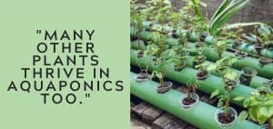 why is lettuce good for aquaponics 2