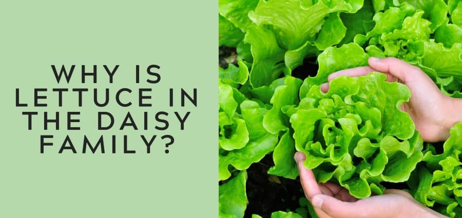 Why Is Lettuce In The Daisy Family Thrive Cuisine