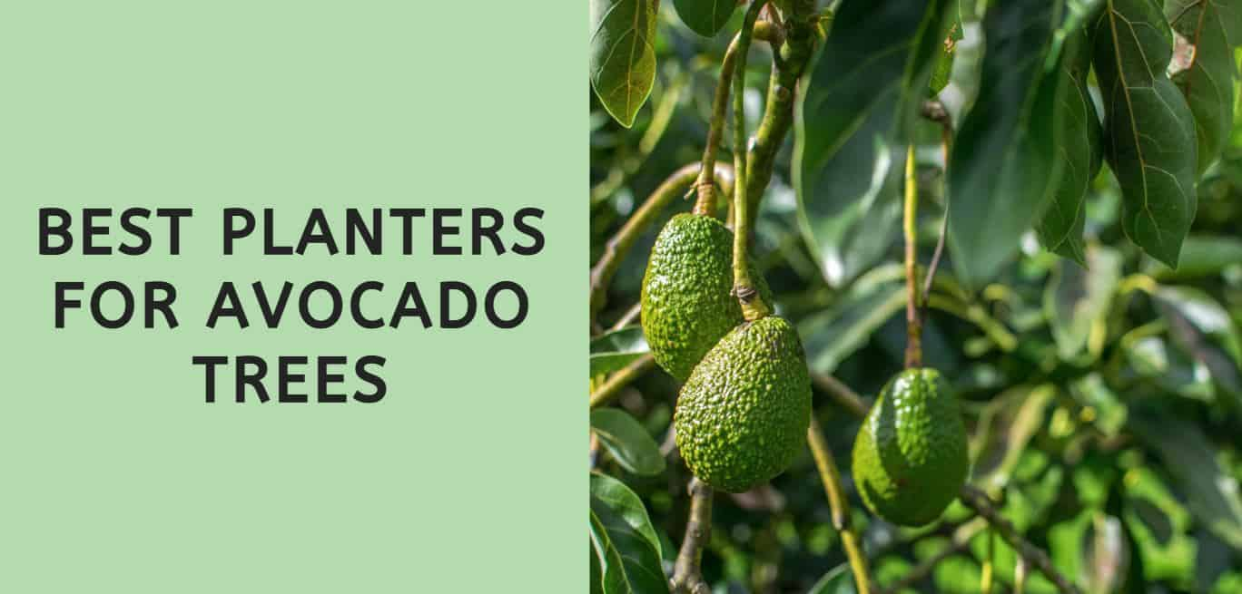 Best Planters for Avocado Trees