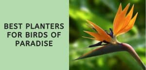 Best Planters for Birds of Paradise