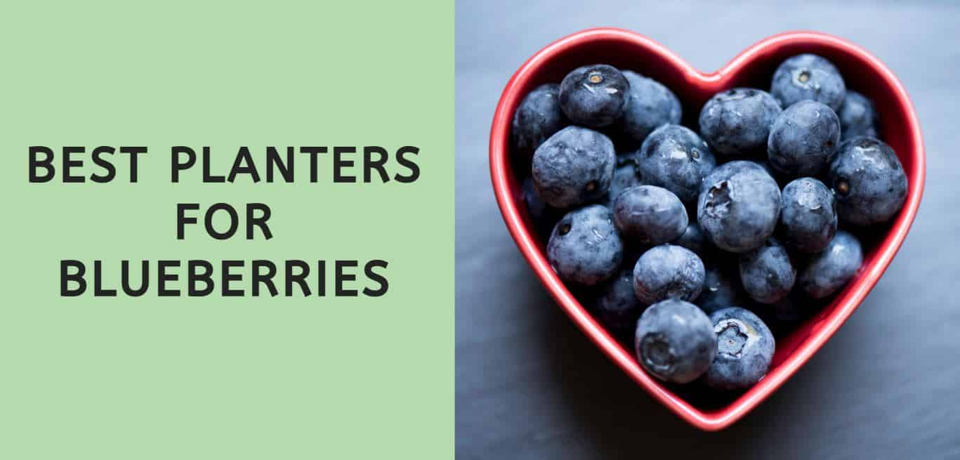 Best Planters for Blueberries