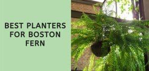 Best Planters for Boston Fern