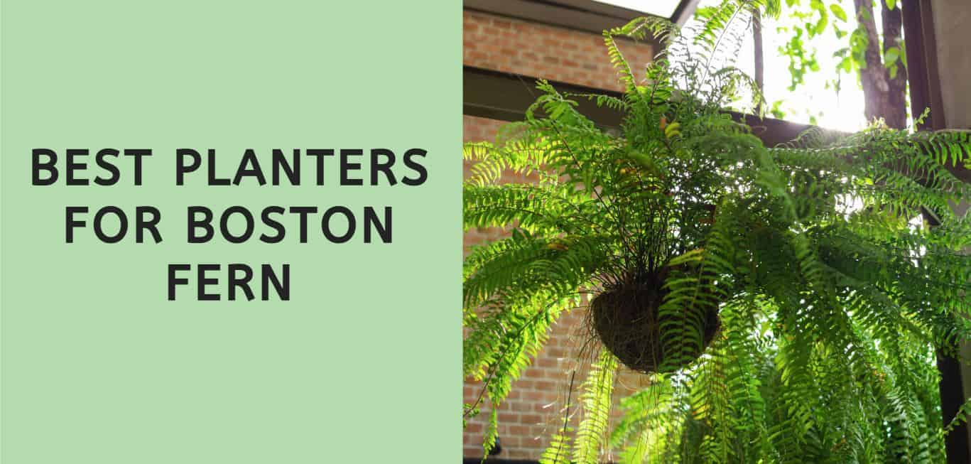 Best Planters for Boston Fern