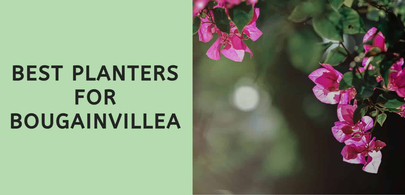 Best Planters for Bougainvillea