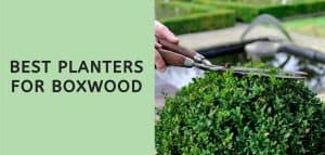 Best Planters for Boxwood