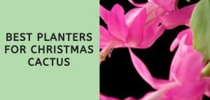 Best Planters for Christmas Cactus