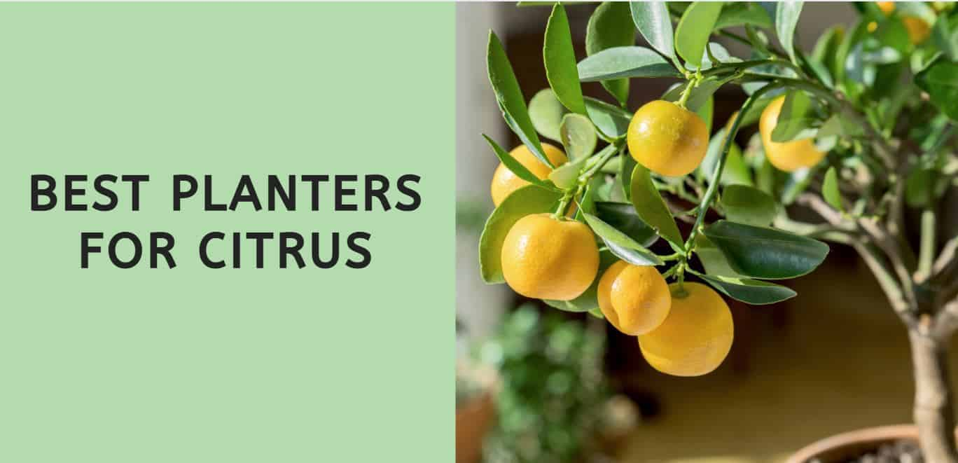 Best Planters for Citrus