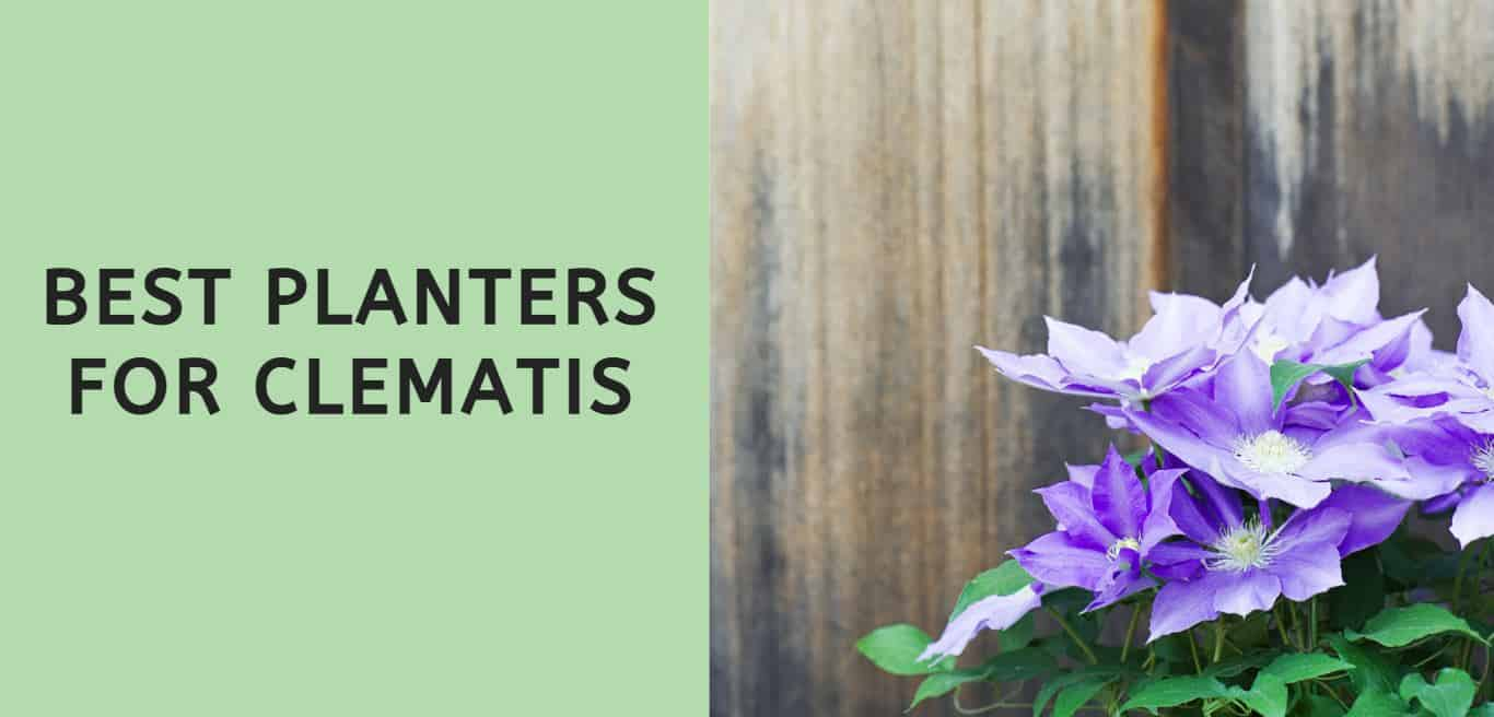 Best Planters for Clematis