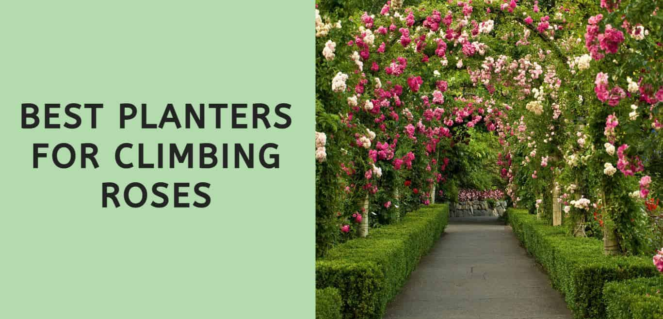 Best Planters for Climbing Roses