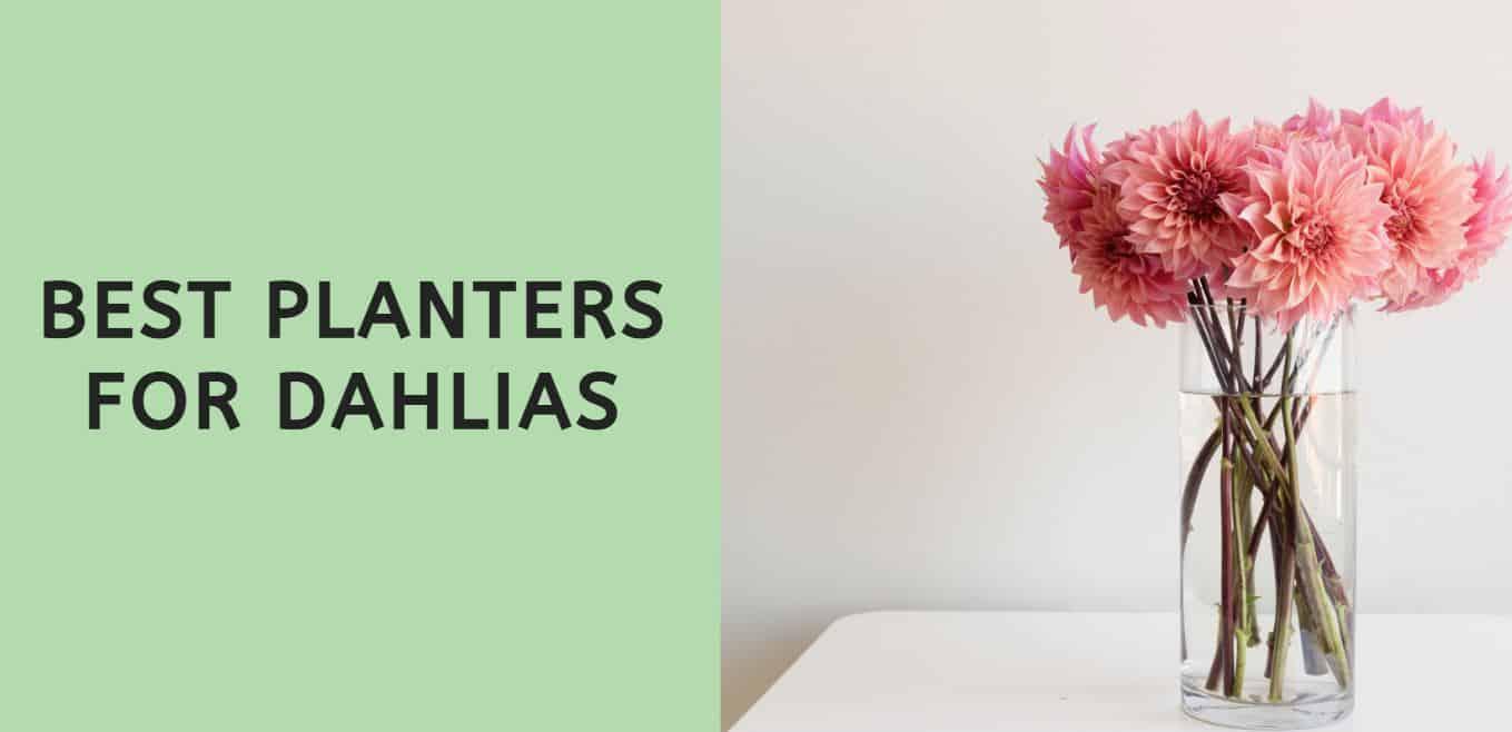Best Planters for Dahlias