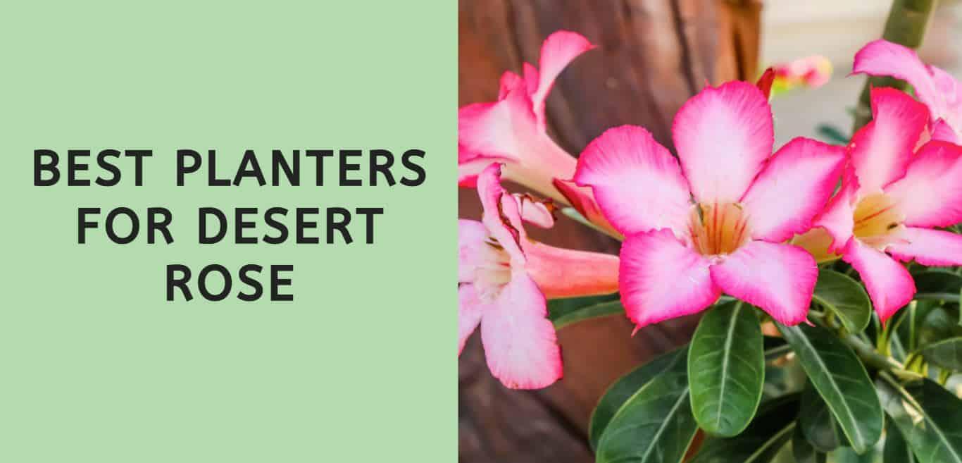 Best Planters for Desert Rose
