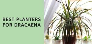 Best Planters for Dracaena