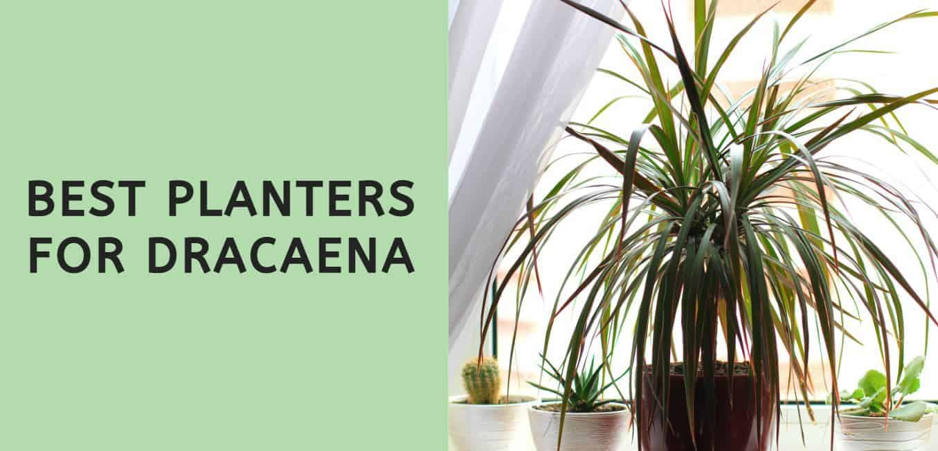 Best Planters for Dracaena