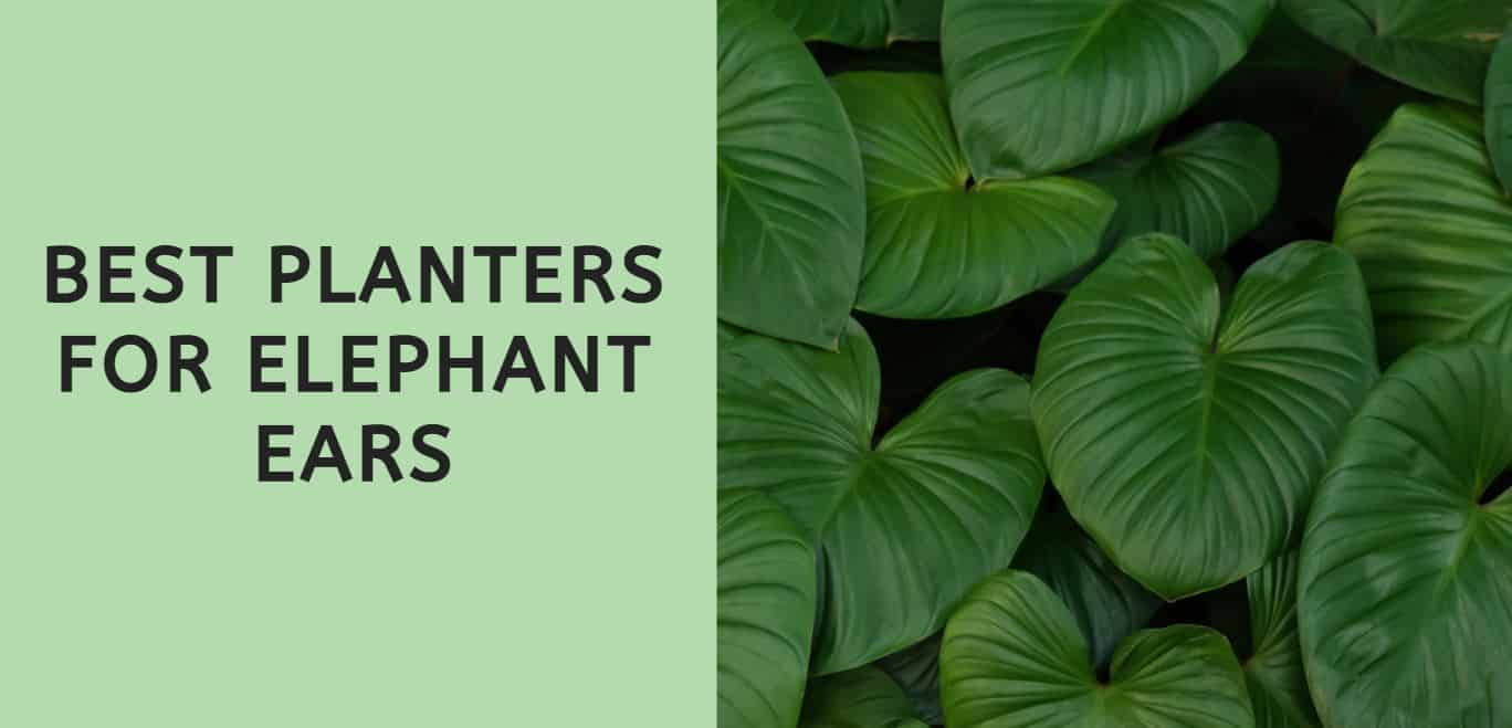 Best Planters for Elephant Ears