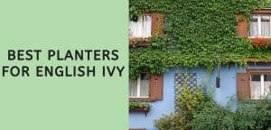 Best Planters for English Ivy