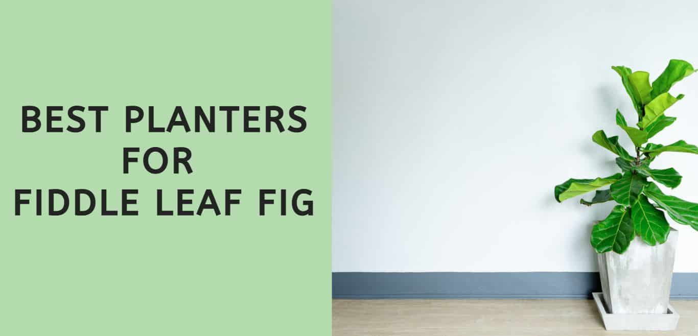 Best Planters for Fiddle Leaf Fig