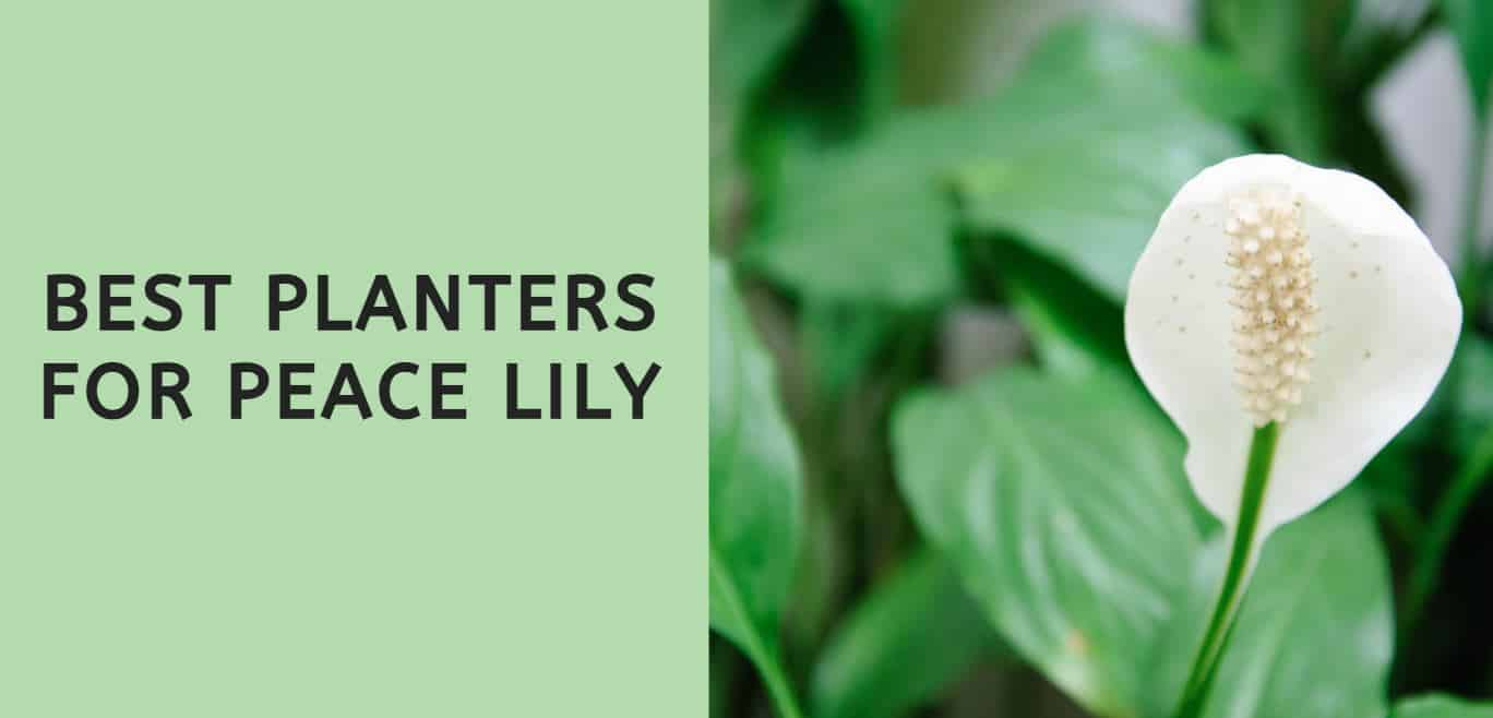 Best Planters for Peace Lily