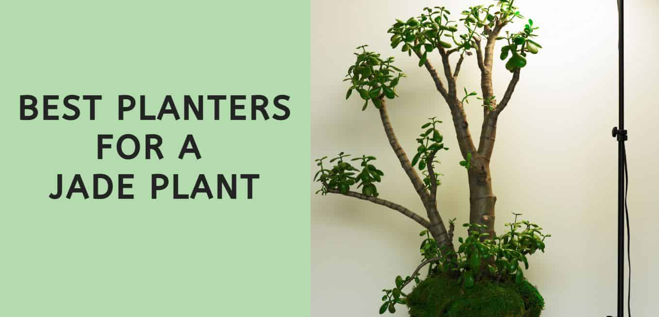 Best Planters for a Jade Plant