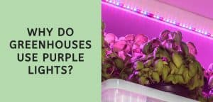 Why Do Greenhouses Use Purple Lights?