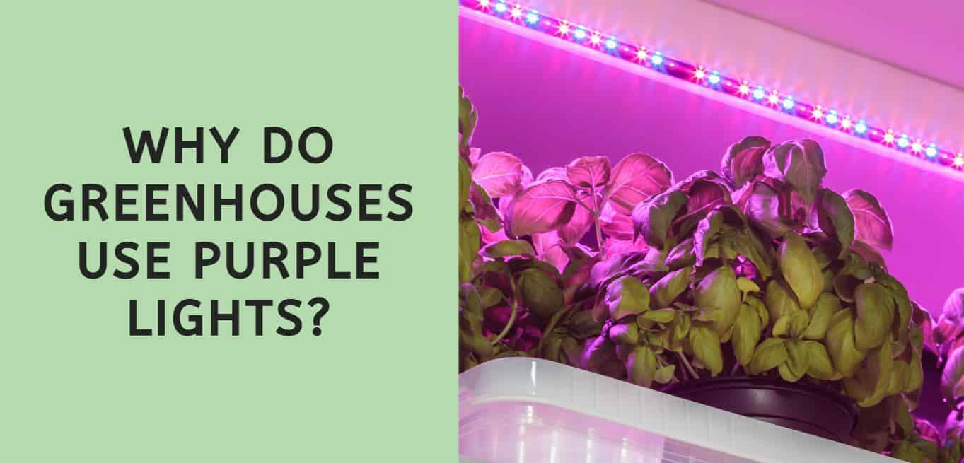 Why Do Greenhouses Use Purple Lights?