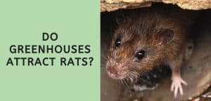 Do Greenhouses Attract Rats?