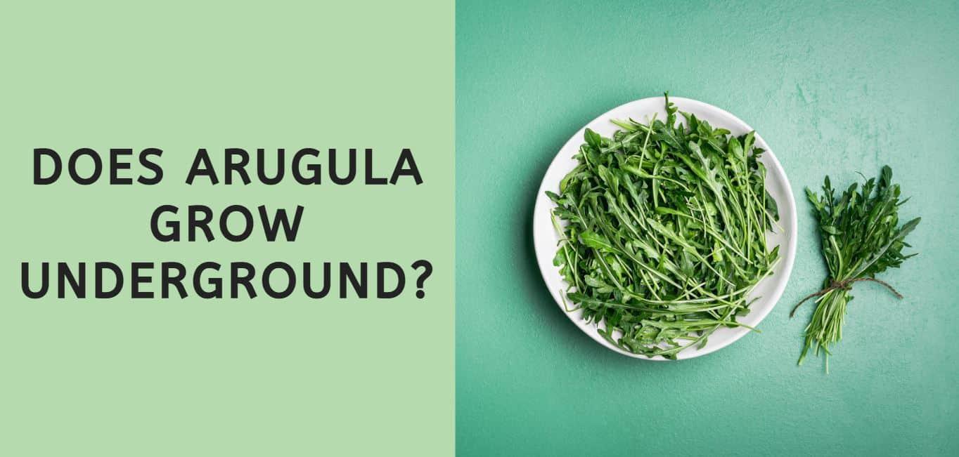 Does Arugula Grow Underground?