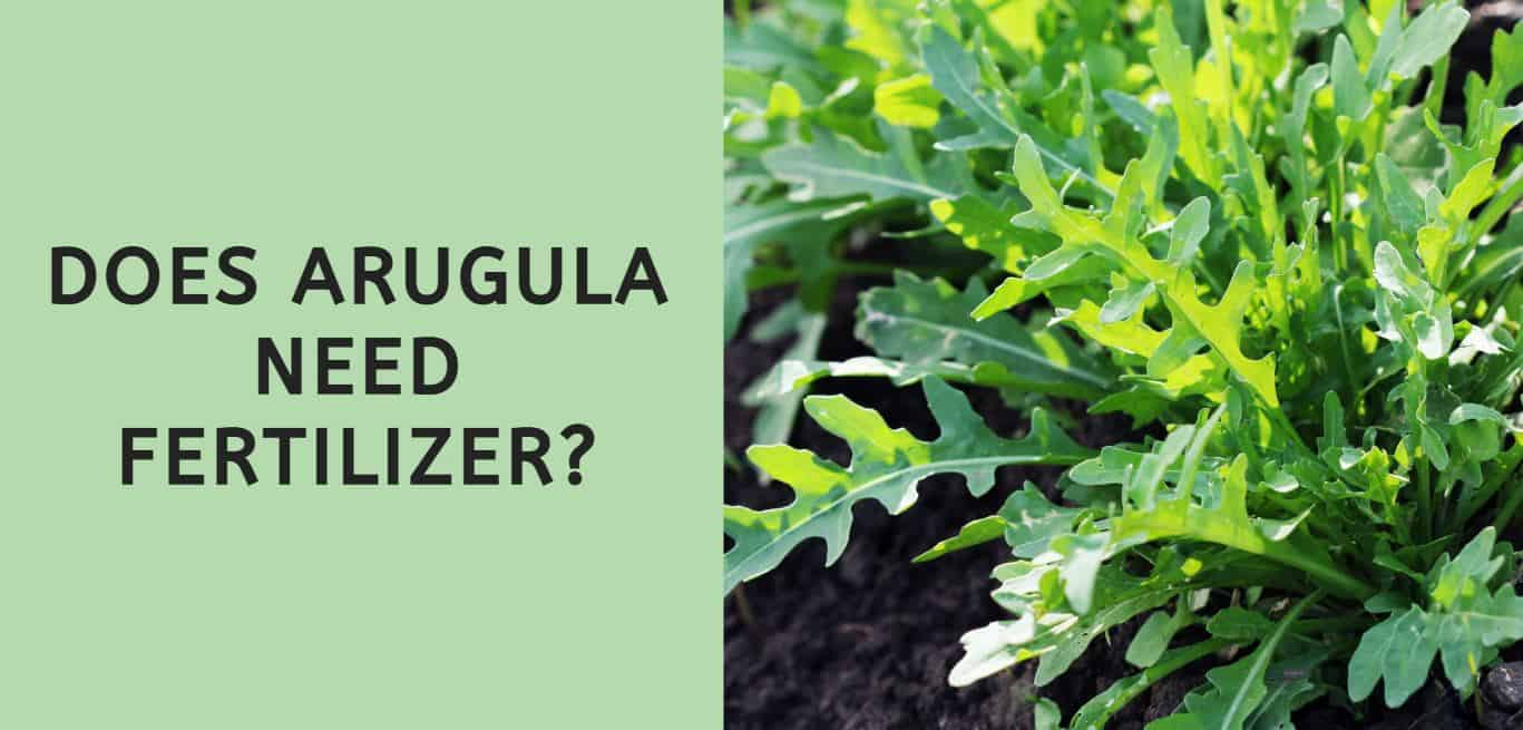 Does Arugula Need Fertilizer?