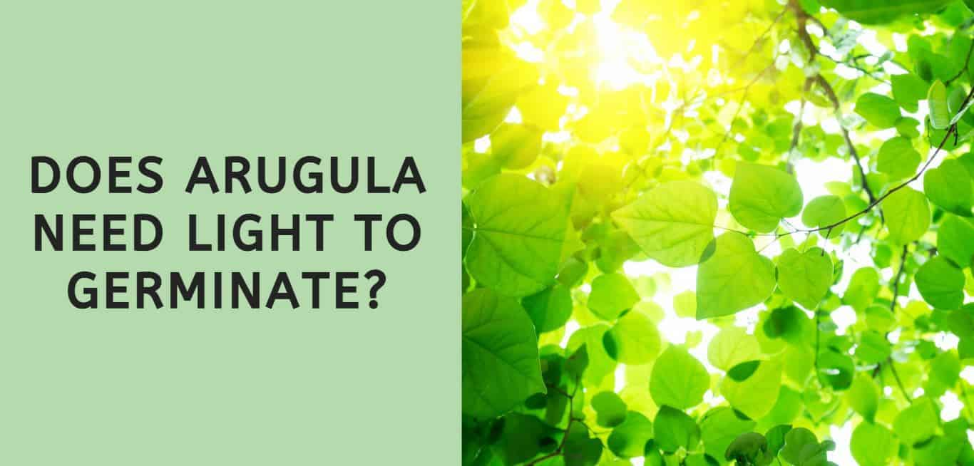 Does Arugula Need Light to Germinate?