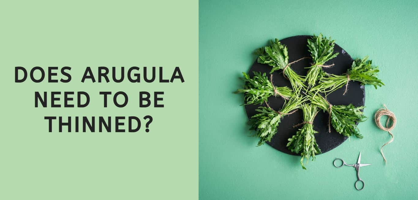 Does Arugula Need to be Thinned?