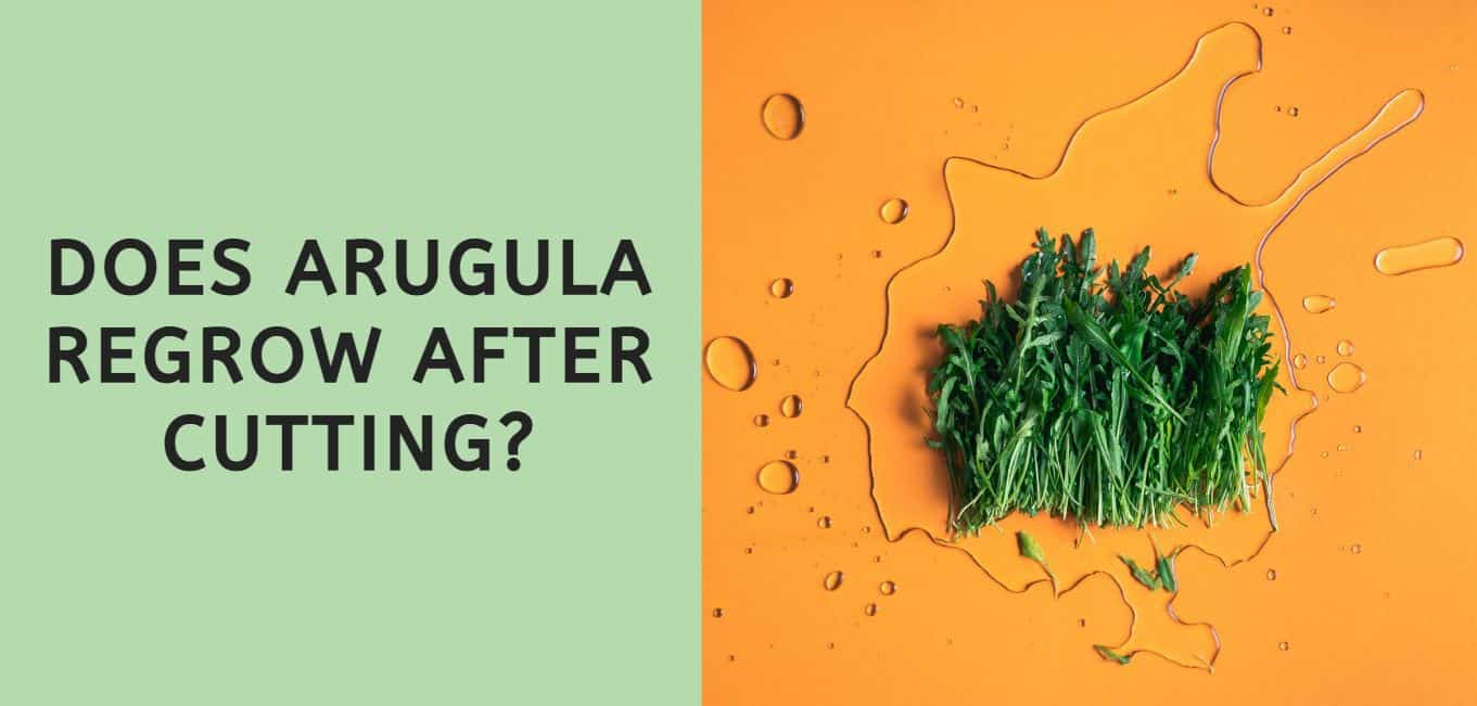 Does Arugula Regrow After Cutting?