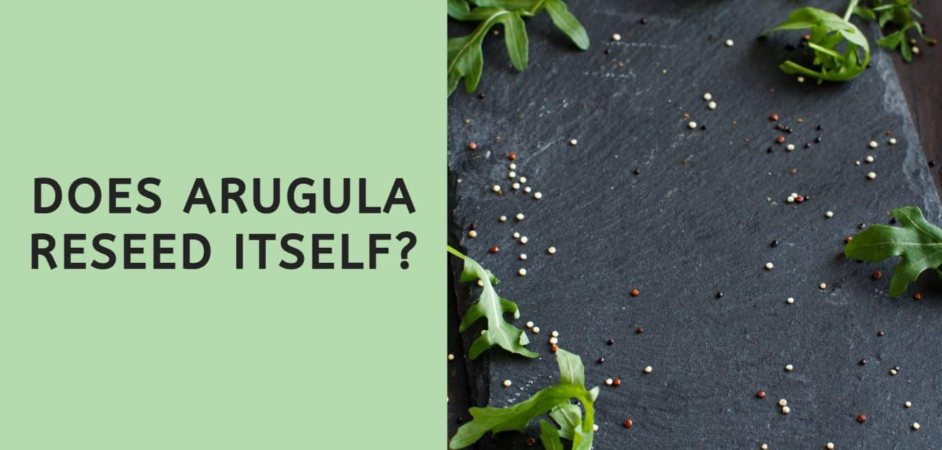 Does Arugula Reseed Itself?